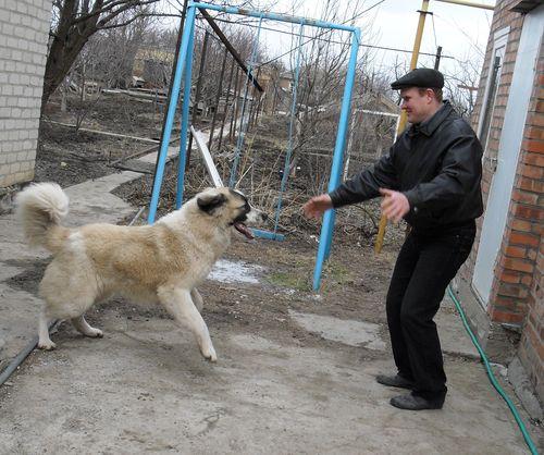 Кавказская овчарка. Стандарты породы, принципы кормления и ...   418x500